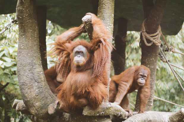 group of orangutan